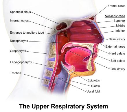 Blausen_0872_UpperRespiratorySystem